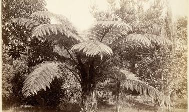Tree fern (Dicksonia squarrosa) and other vegetation. Photograph by Alfred Burton for the Burton Brothers studio (Dunedin). New Zealand. Circa 1885.