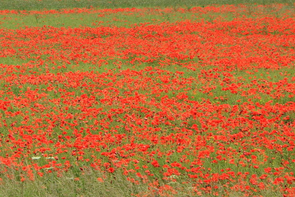 figure 1 poppies roundway down copy