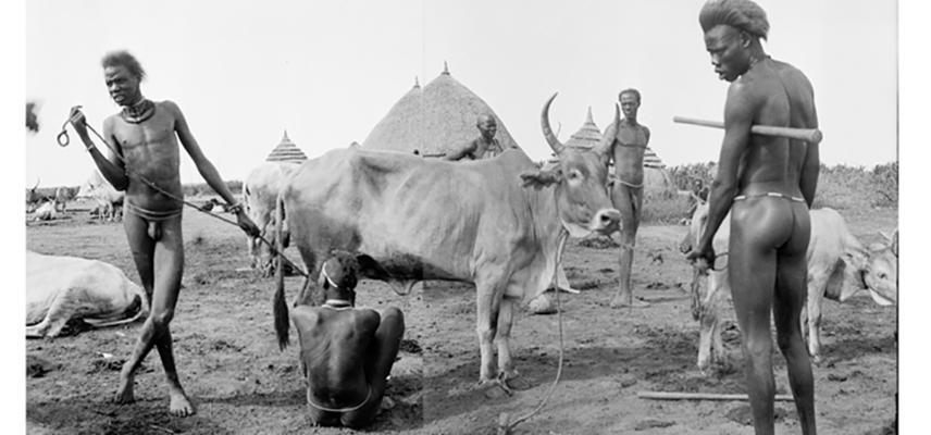 e p restless cow