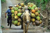 Coconuts indonesia